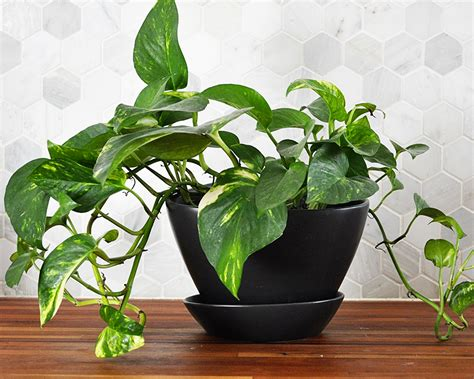 photos pianta da appartamento houseplant week pothos real on purpose