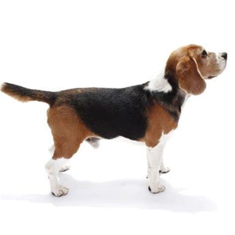 puppy profile beagle medium breed profile puppy