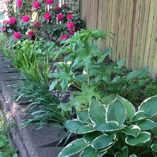 hosta flower beds hosta bed hostas and caladiums pinterest