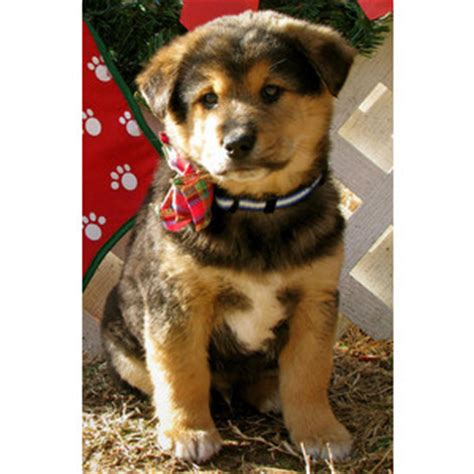 golden retriever chow mix for sale alex the chow chow golden retriever mix puppies daily puppy polyvore