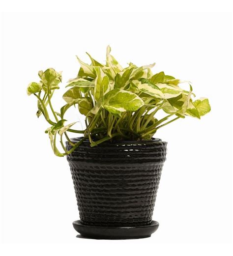 indoor plant pot nurturing green indoor plant white pothos ceramic pot