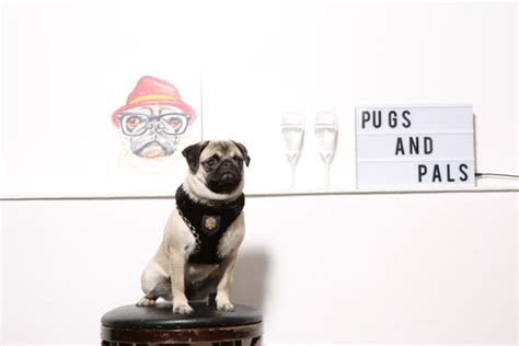 pugs and pals pop up friendly pug cafe in