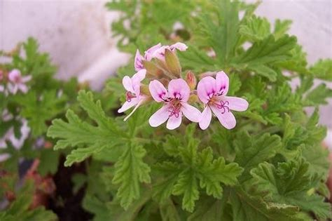 piante antizanzare da giardino piante anti zanzara piante da giardino