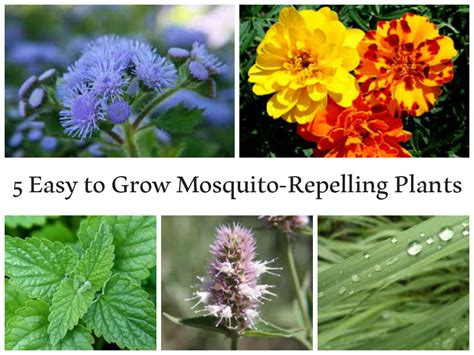 easy to grow flowering shrubs 5 easy to grow mosquito repelling plants