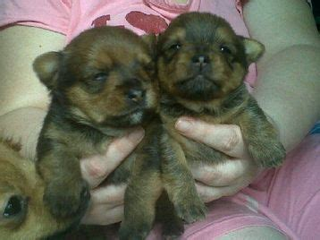 16 week yorkie images of beautiful ckc yorkie poo puppies for sale 16 weeks in breeds picture