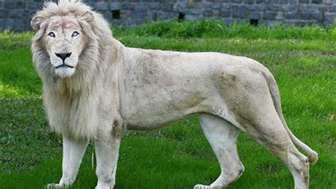 Imagenes De Leones Raros | 20 de los animales m 225 s hermosos del mundo