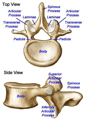 labeled vertebrae diagram vertebrae