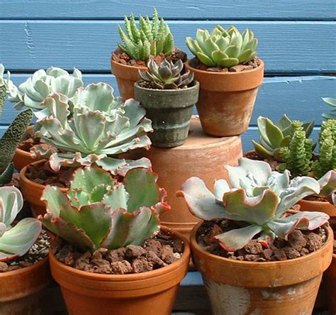 succulent containers for sale echeveria hybrids easy to grow plants for your succulent