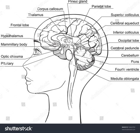 brain midsagittal section midsagittal section human brain vector stock vector