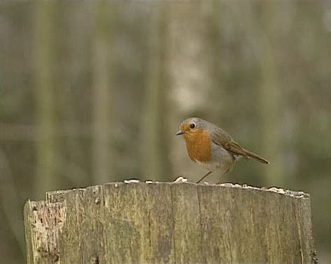 european robin erithacus rubecula perched on a log
