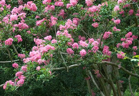 flowering shrubs zone 5 simple landscape small flowering trees for landscaping zone 5