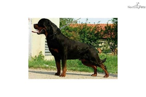 stoney creek rottweilers rottweiler stoney creek rottweilersphenomenal imports breed breeds picture