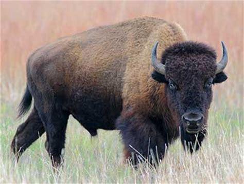 oklahoma state animal buffalo american bison