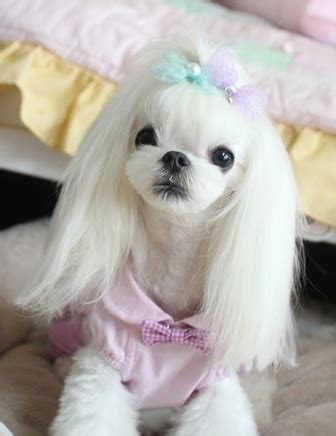 korean yorkie haircuts korean cut maltese dogs forum spoiled maltese forums