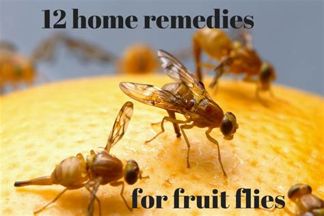 fruit fly remedy i grandmas home remedies