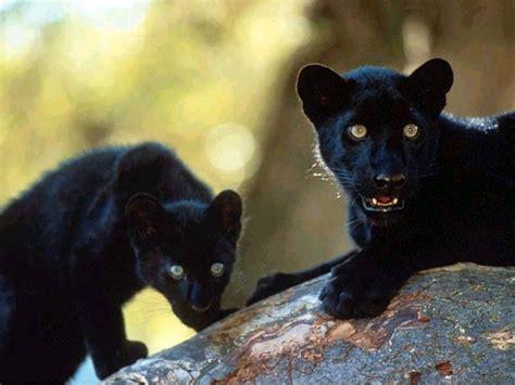 black panther black panther avatars