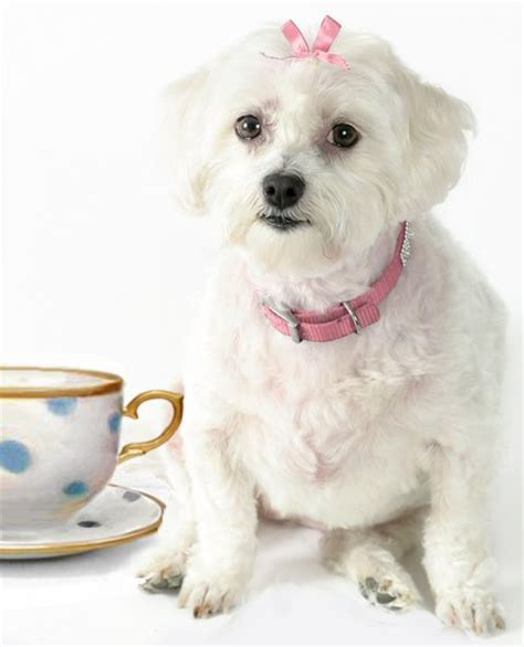 teacup puppy breeds black teacup maltese puppies www pixshark images galleries with a bite