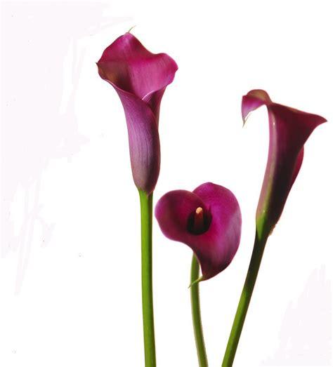 mini calla lily grape velvet mini calla lilies calla