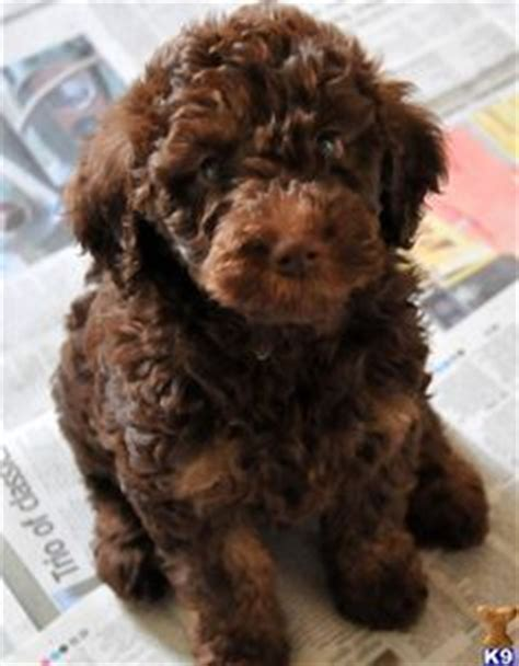 chocolate mini labradoodle puppies for sale gaga labradoodles puppies for sale dogs for adoption family pets animals