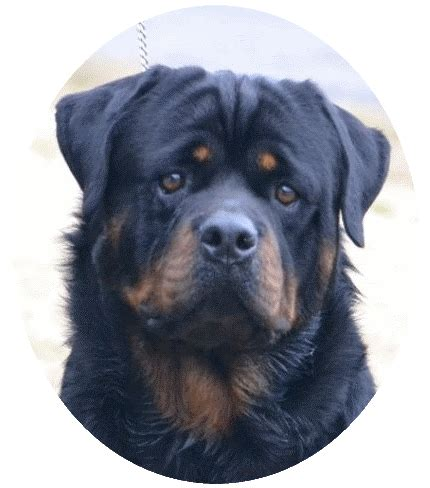 rottweiler puppies for sale illinois german rottweiler bullmastiff breeder puppies for sale