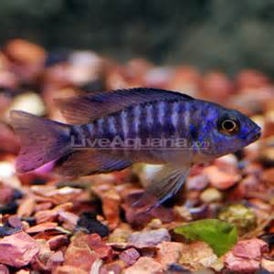 Tropical Fish for Freshwater Aquariums: Blue Peacock Cichlid