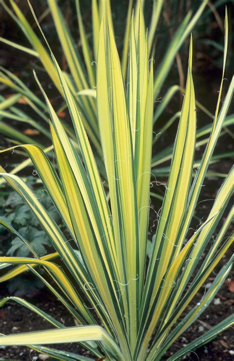 great plant picks yucca filamentosa color guard