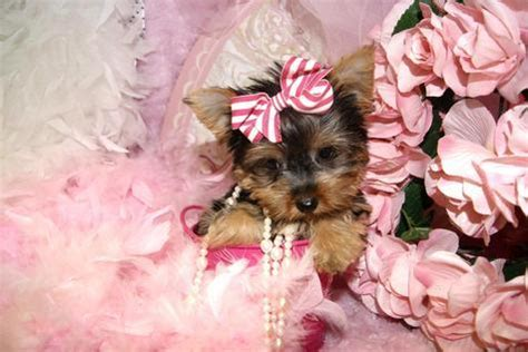 yorkie denver teacup yorkie puppies available breeds picture