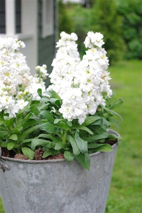 fragrant container plants 63 best images about highly fragrant flowers on