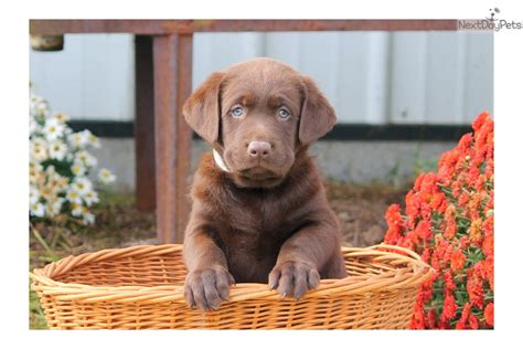 chocolate lab puppies near me labrador retriever puppy for sale near lancaster pennsylvania cd3a639a 4db1