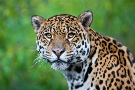 whats the difference between a leopard and a jaguar what s the difference between a jaguar and a leopard