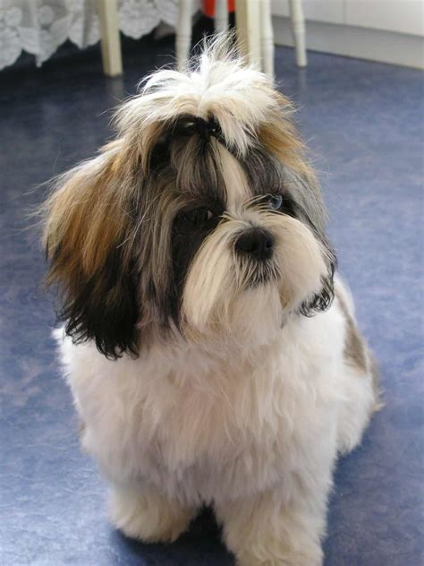 shih tzu health information shih tzu breed 187 information pictures more