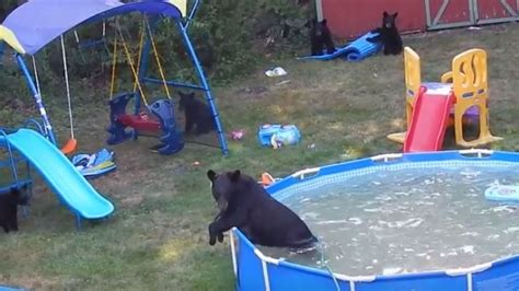 bear in backyard bears run wild in backyard swimming pool article tsn