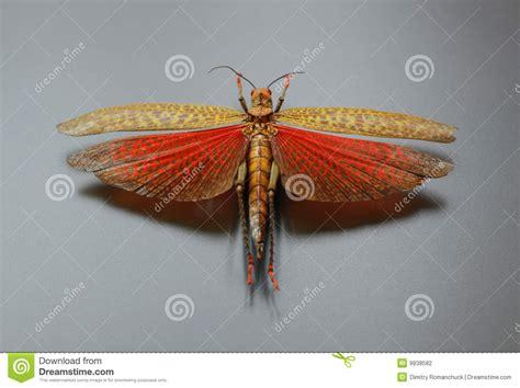 grasshopper  spread wings stock photo image
