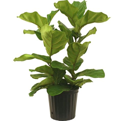 in door plants pot video three four plants argements delray plants 8 3 4 in ficus pandurata bush in pot 10pan