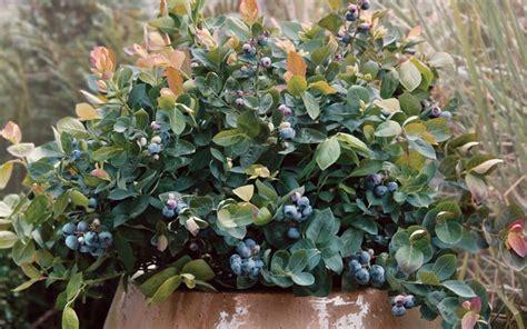 buy peach sorbet dwarf blueberry 1 gallon blueberry