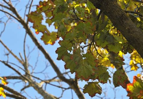 maple tree decline glens falls maple trees in decline turn early as they die local poststar