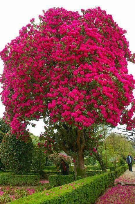 Large Pink Flowering Tree - the most beautiful flowering tree i ve ever seen