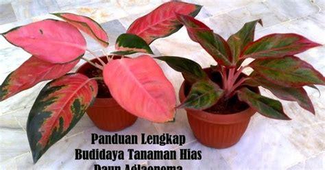 panduan lengkap budidaya tanaman hias daun aglaonema