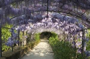 Wisteria wisteria sinensis kopen gratis bezorgd bij tuincentrum nl