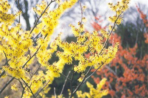 arnold promise witchhazel hamamelis x intermedia arnold promise in columbus dublin delaware