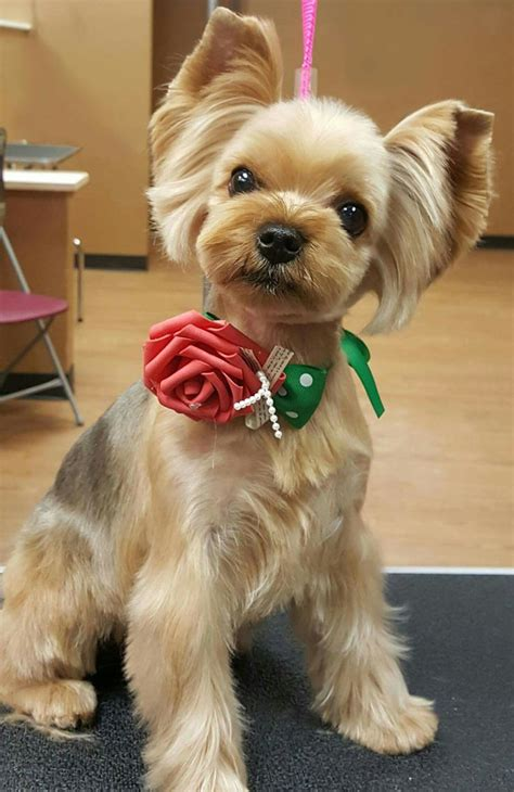 pics of differently groomed yorkies 407 best images about asian fusion grooming on pinterest
