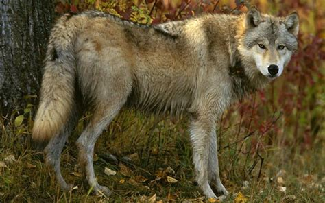 google images wolf wolf jigsaw puzzles android apps on google play