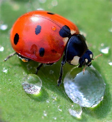 where to find ladybugs in your backyard best 25 ladybug larvae ideas on pinterest gardening
