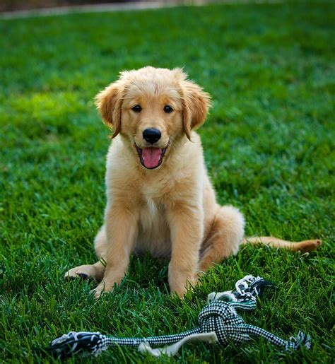 Puppy Golden Retriever pictures of golden retrievers golden retriever photo gallery