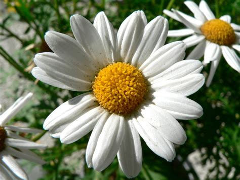 daisies flower maritza craig daisy flower