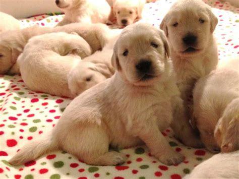 golden retriever st louis mo akc puppies for sale near tioga dakota akc marketplace