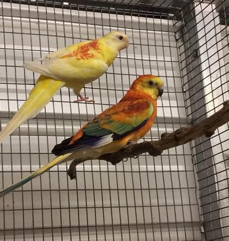 birds for sale san diego male red rump parakeet rump parakeet mutations birds parakeets bird and beautiful birds