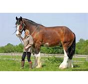 Pictured Duke The 6ft 5in Shire Horse That Is Britains Tallest But