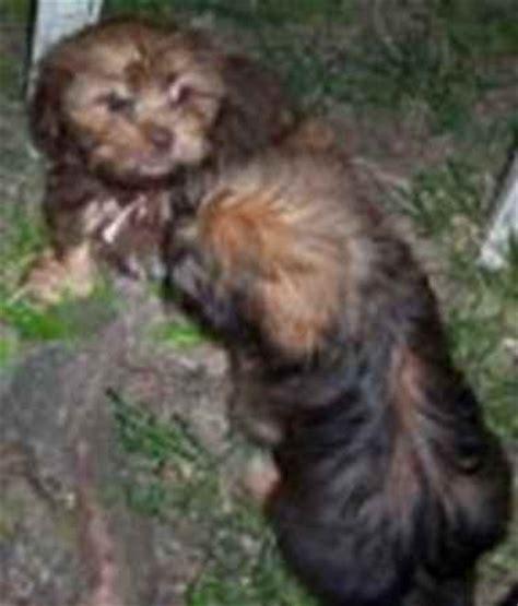 shih tzu weenie mix schweenie dachshund shih tzu mix info puppies temperament breeds picture