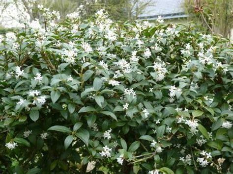 fragrant flowering shrub osmanthus x burkwoodii 5 h x 5 w evergreen flowering